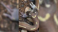 Dwugłowy wąż zjada dwie myszy jednocześnie. Szokujące nagranie z USA