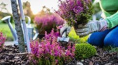 Wrzosy w ogrodzie i na balkonie. Sprawdź, jak je sadzić, uprawiać i o czym pamiętać