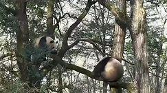 Walka dzikich pand. Niezwykle rzadkie nagranie