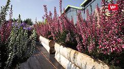 Kwiaty na balkon i do ogrodu. Sprawdź, co sadzić jesienią