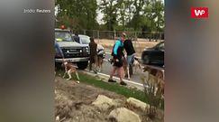 Polowanie na wyczerpanego jelenia. Mieszkańcy miasteczka nie dali go zabić