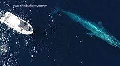 Spotkanie z morskim gigantem. Niezwykłe nagranie z drona