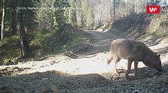 Wilcza droga. Niezwykłe nagranie z Nadleśnictwa Baligród