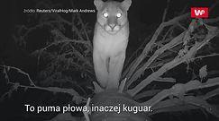Przyłapana w nocy. Dziki drapieżnik w oku kamery