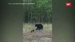 Niedźwiadek kontra bóbr. Nagranie kierowcy