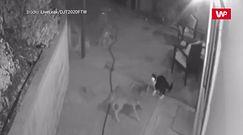 Kot kontra trzy kojoty. Niezwykłe starcie