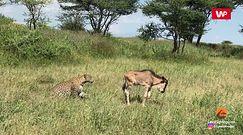 Atak lamparta na antylopę gnu z bliska. Niezwykłe nagranie z safari