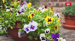 Rośliny na balkon. Ekspertka podpowiada, które gatunki sprawdzą się najlepiej