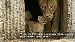 Młode lwy z zoo w Kopenhadze