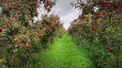 Błyszczące jabłka zawdzięczają swój wygląd wydzielinie z robaków