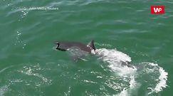 Ptak uciekł rekinowi. Zaskakująca nagranie świadka