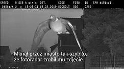Gołąb na fotoradarze przekroczył prędkość
