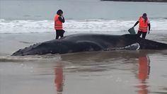 Uratowali walenia. Utknął na plaży