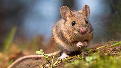 Polowanie na myszy. Najlepsze naturalne metody na pozbycie się niechcianych lokatorów z domu.