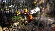 Pszczoły kontra szerszeń. Niezwykłe stracie owadów