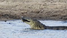 Krokodyli posiłek