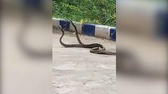 Pojedynek węży. Nagranie rytuału o dominację