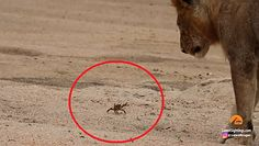Krab obiektem zainteresowania stada lwów. Zabawne nagranie z safari w RPA