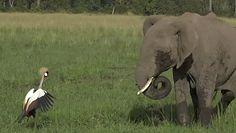 Koronnik szary pogonił słonie