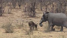 Słoń kontra bawół. Przerażające nagranie z safari
