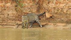 Wąż kontra jaguar. Niesamowite spotkanie na brzegu brazylijskiej rzeki