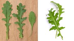 Trująca roślina do złudzenia przypomina rukolę. Sprawdź, jak ją rozpoznać