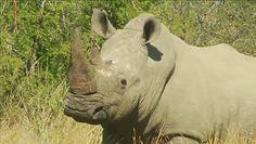 Nosorożce z RPA. Obcięli im rogi, by je uratować
