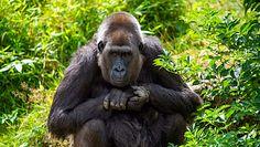 """Opiekun zaraził koronawirusem goryle w zoo. """"Może przeskoczyć na inne stworzenia"""""""