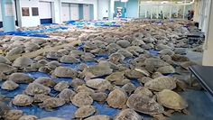 Tysiące żółwi zamarzają u wybrzeży Teksasu. Dramatyczna akcja ratunkowa