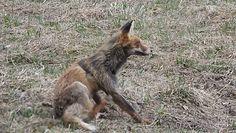 Swędząca przypadłość. Urocze nagranie lisa z Bieszczad