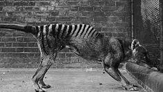 Wilkowór tasmański. Ostatnie takie nagranie. Ujawnili je po 85 latach