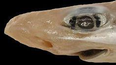 Rekin bez skóry w wodach Sardynii. Niezwykłe odkrycie naukowców