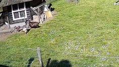 Zwierzęta gospodarskie ratują kurczaka przed jastrzębiem. Zaskakujące nagranie z Holandii