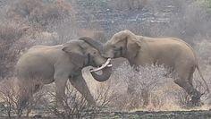 Walka słoni. Nagranie z Parku Narodowego Krugera