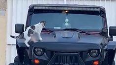 Kot na masce auta. Bezcenna reakcja na próbę przegonienia