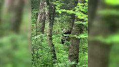 Odwiedziny dzikiej pandy. Pierwszy przypadek od 2015 roku