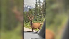 Odważny jeleń. Pokazał, do kogo należy droga