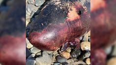 Znalazł dziwnego kaszalota na plaży. Zagadkowa śmierć rzadkiego gatunku