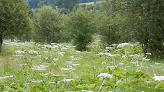 Niebezpieczny barszcz sosnowskiego. Nadleśnictwo Baligród ostrzega przed tą rośliną