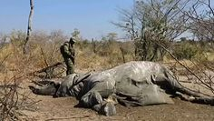 Znaleźli 330 martwych słoni. Odkryto tajemnicę ich śmierci
