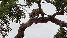 Dziki kot atakuje młodą impalę. Nagranie z Parku Narodowego Krugera