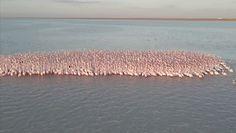 Jezioro pełne flamingów. Niebywałe nagranie z Kazachstanu