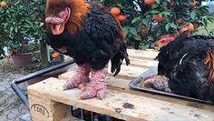 Spójrz na ich nogi. Takich kurczaków jeszcze nie widziałeś