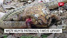 Azjatycki wąż zjada narządy jadowitej ropuchy