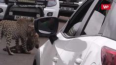Lampart kontra hiena. Pierwsze takie nagranie w historii