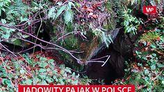 Najbardziej jadowity pająk w Polsce. Żyje w Bieszczadach