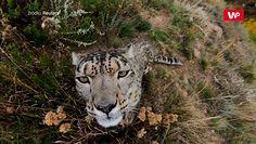 Oko w oko ze śnieżnym lampartem. ONZ chce zwrócić światową uwagę na ten gatunek