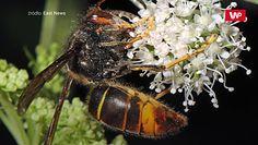 Wróg polskich pszczół. Zaatakował już północne Niemcy