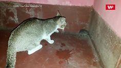 Kot kontra szczur. Zobacz, jak to się skończyło