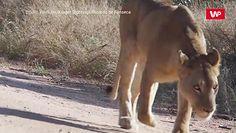 Lwica wyczuła ofiarę z 4 km. Niezwykłe nagranie z safari w RPA